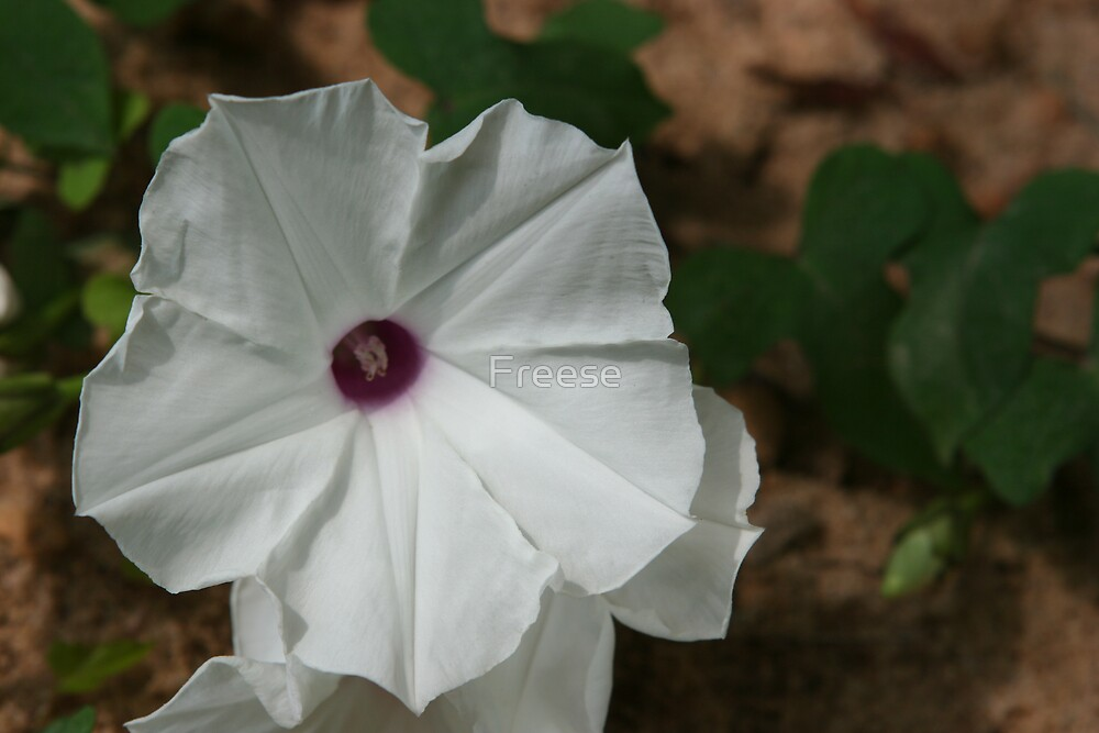 Morning Glory by Freese