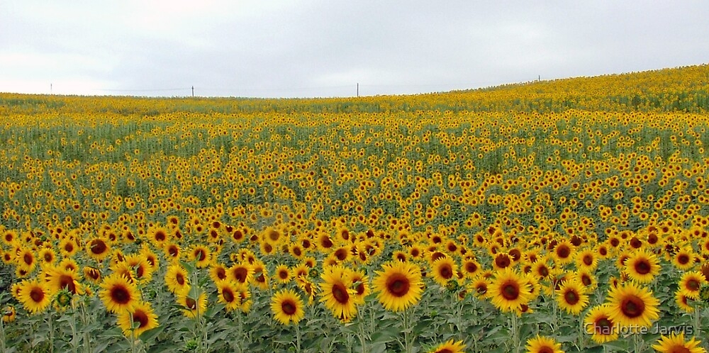 Sunflowers by Charlotte Jarvis