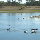 Pelicans_Barcloo River_Queensland_Australia by Kay Cunningham