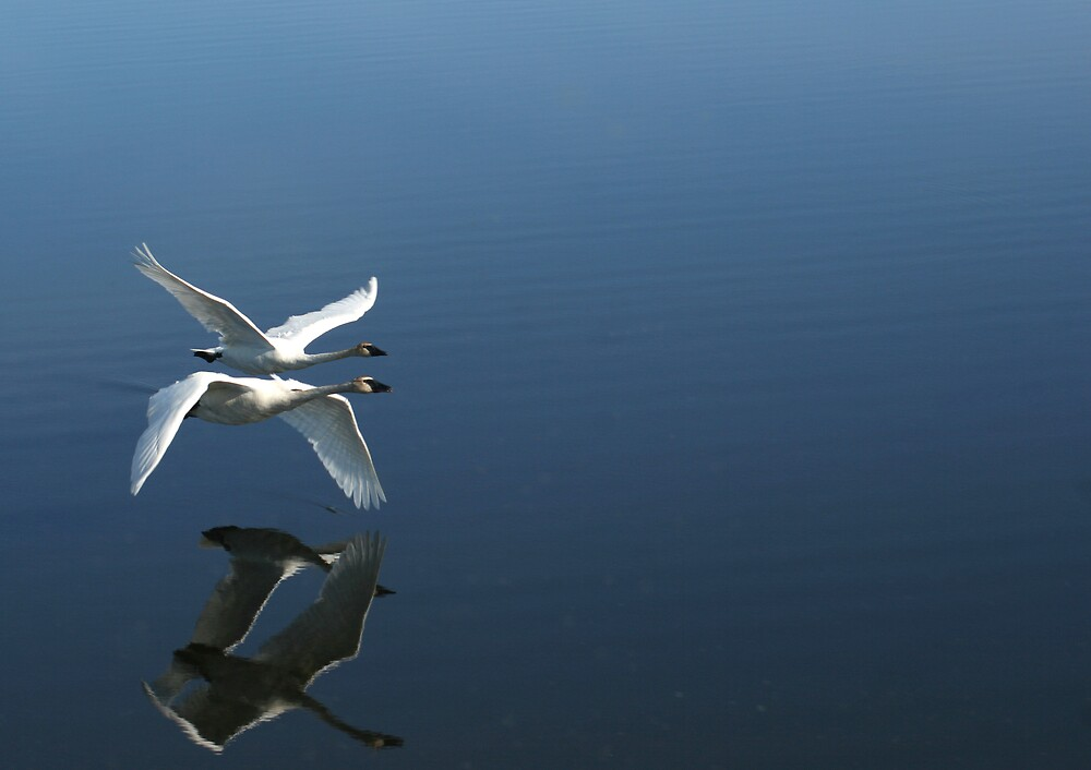 two swans flying in tandem by anotherlook