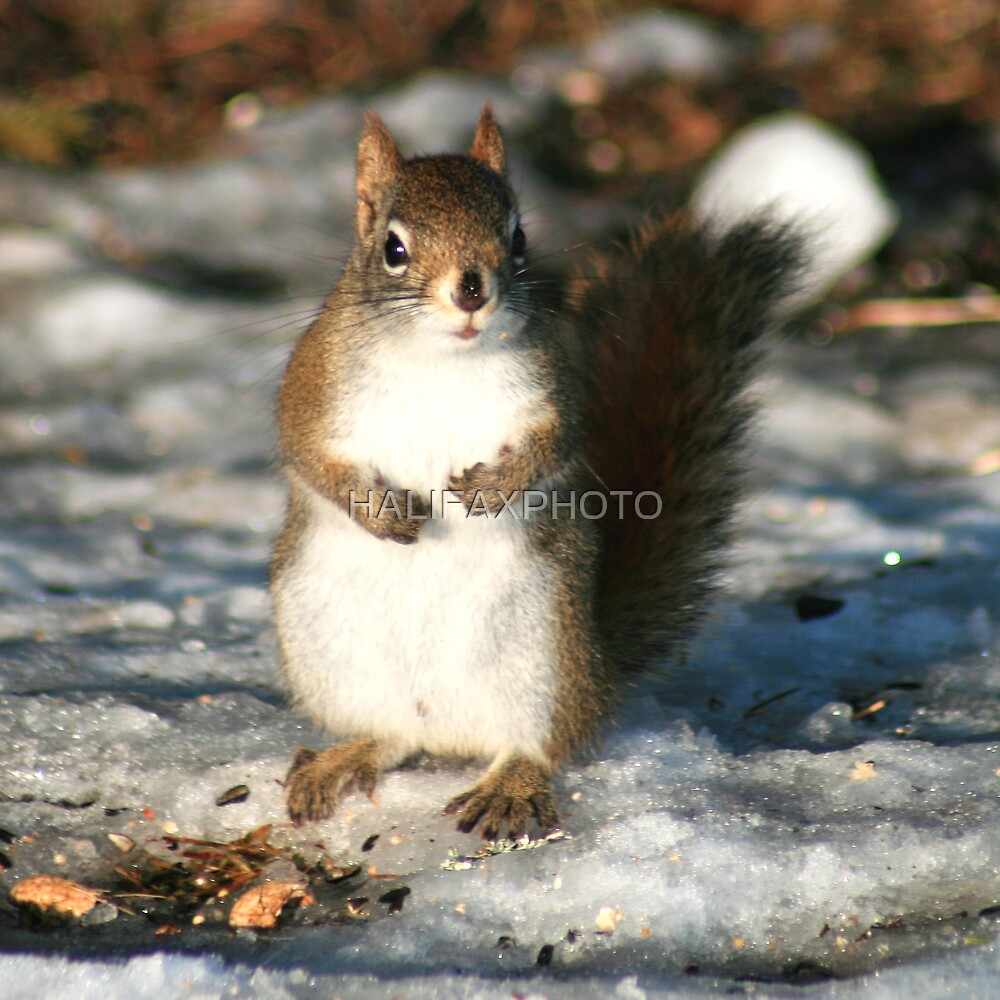 Winter Squirrel by HALIFAXPHOTO