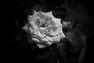 Mini Rose B&W by John Schneider