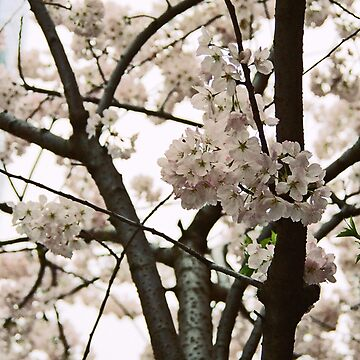 Cherry Blossoms by brodrickmade