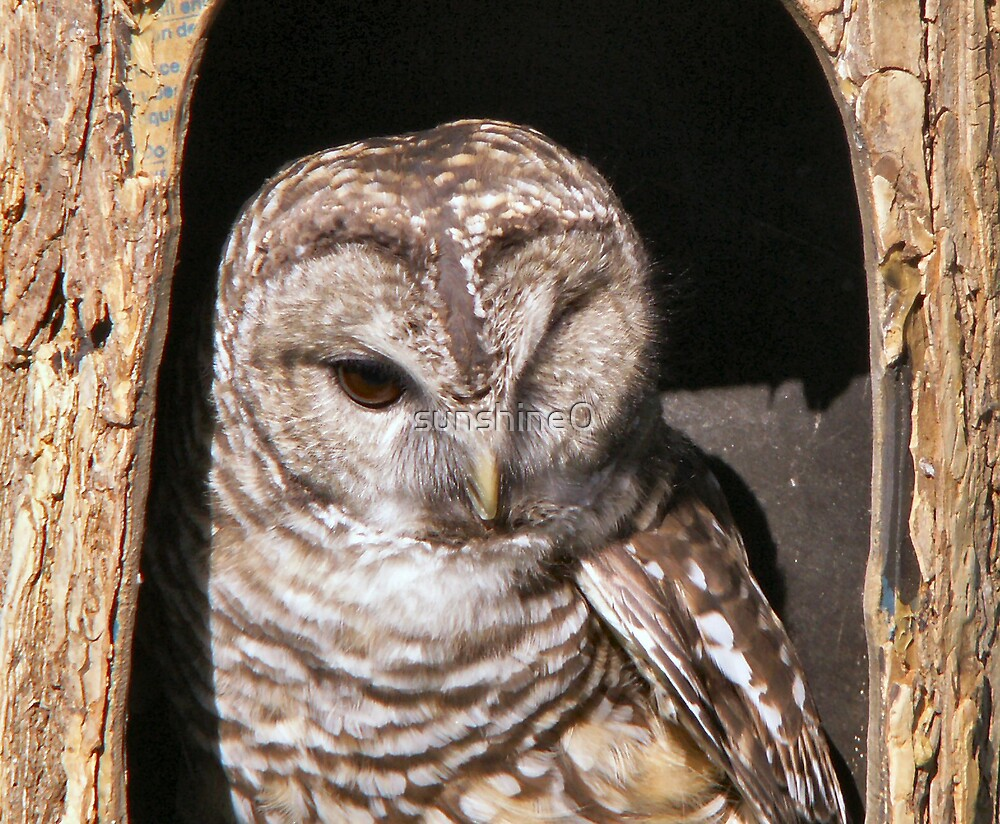 The Barred Owl by sunshine0