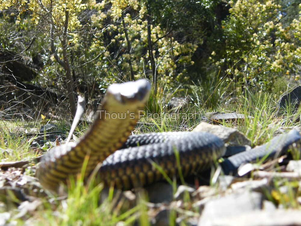 This is one of the snakes Caught at Port Sorell Tas  by Thow's Photography