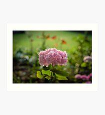 Mom's Garden 2016 - Hydrangea Pink Art Print