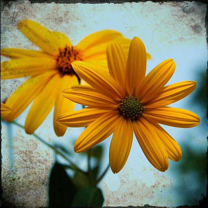 a yellow-centered daisy. by treexnl