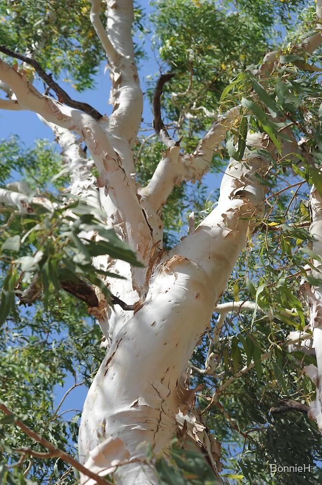 a tall gum tree by BonnieH