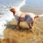 Italian Spinone Dog Woody, Wave Jumping at the Beach by heidiannemorris