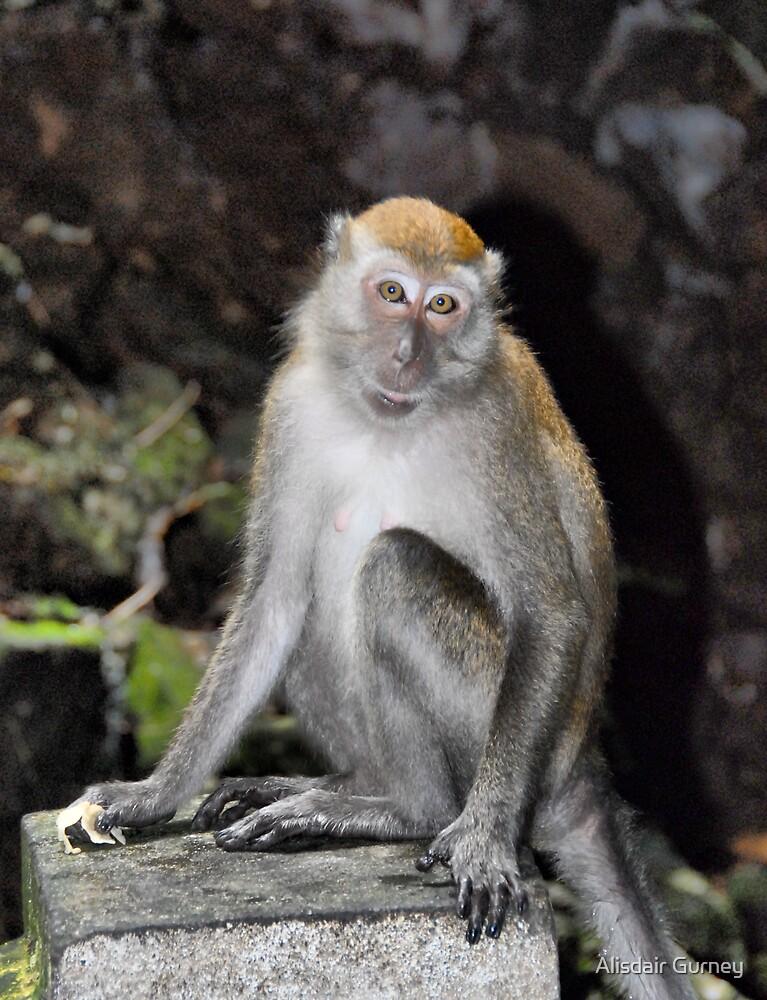 Macaque Monkey, Malaysia by Alisdair Gurney