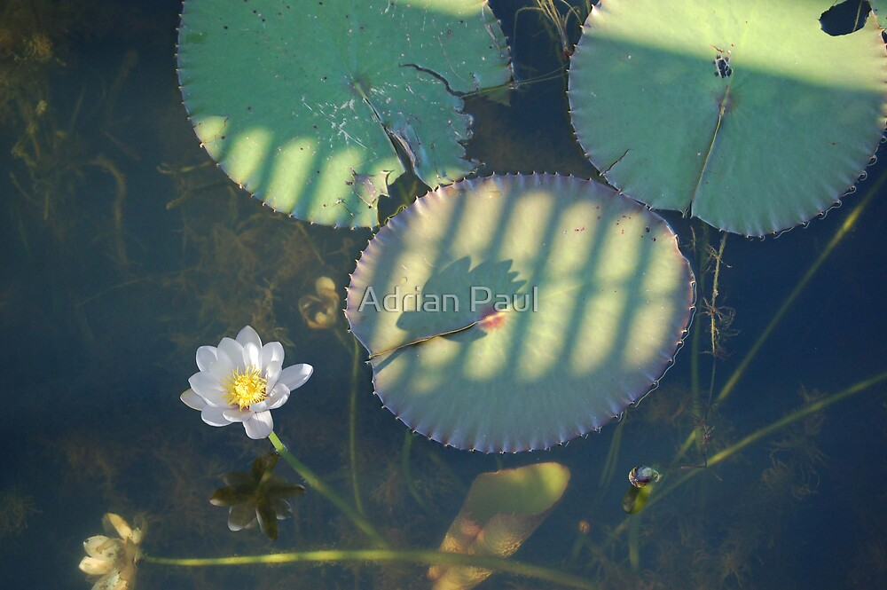 Patterns on a Water Lily  by Adrian Paul
