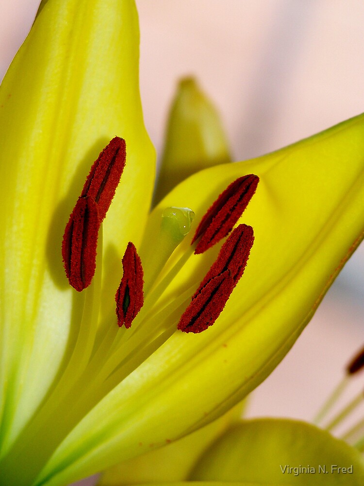 Yellow Lily Stamina by Virginia N. Fred