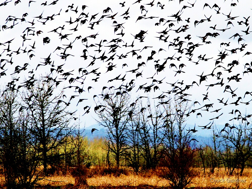 The Birds Are Coming by Chuck Gardner