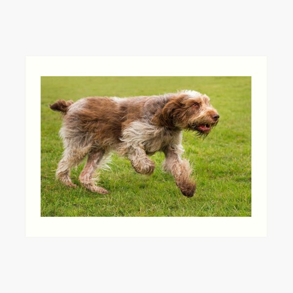 Running Spinone Art Print