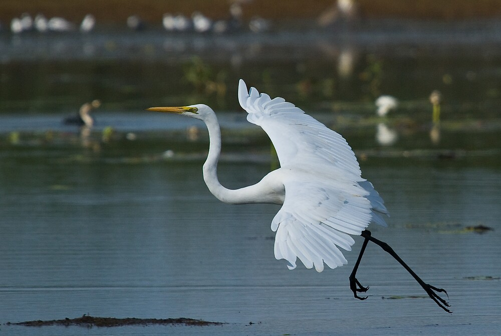 Great Egret arrives by Keith McGuinness