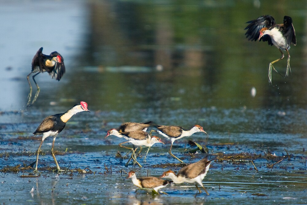Jacana drop in to feed by Keith McGuinness