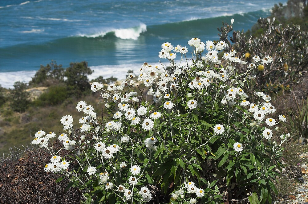 White Paper Daisy(Helichrysum elatum) by Melva Vivian