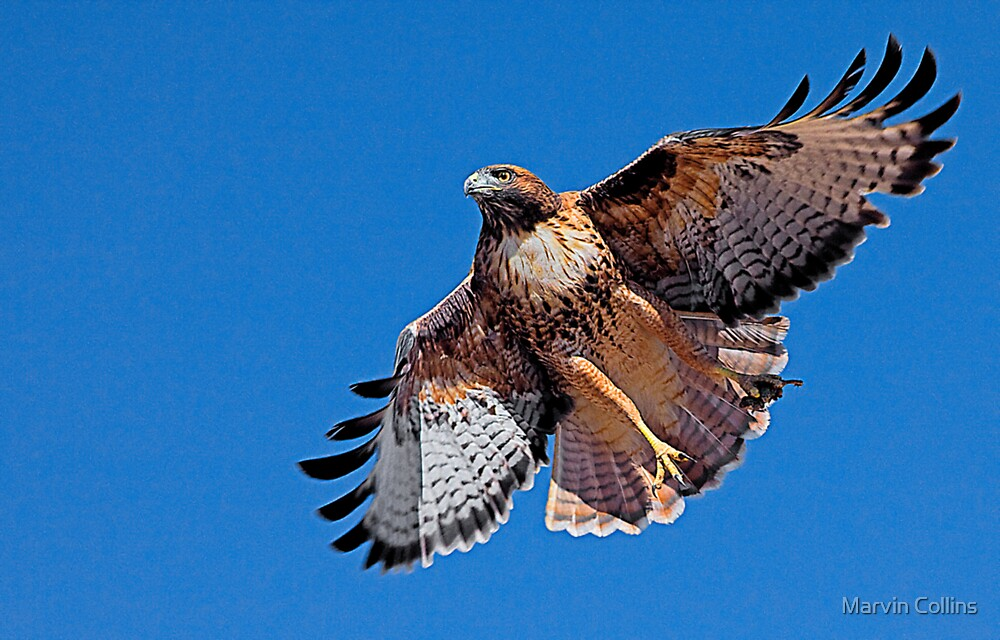 Red Tailed Hawk Interrupted by Marvin Collins