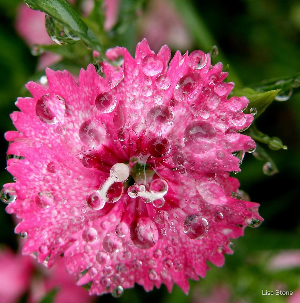 Pink dew drop by Lisa Stone
