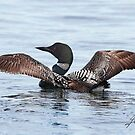 The Common Loon Spread by DigitallyStill
