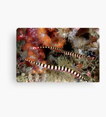 Banded Pipefish Canvas Print