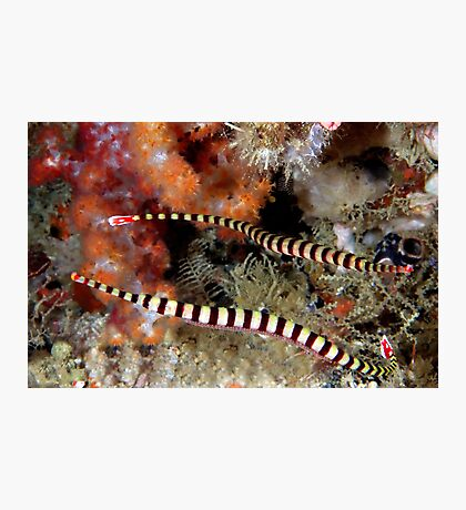 Banded Pipefish Photographic Print
