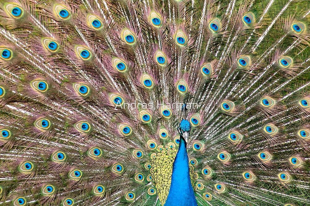 Peacock  by Andras Harman