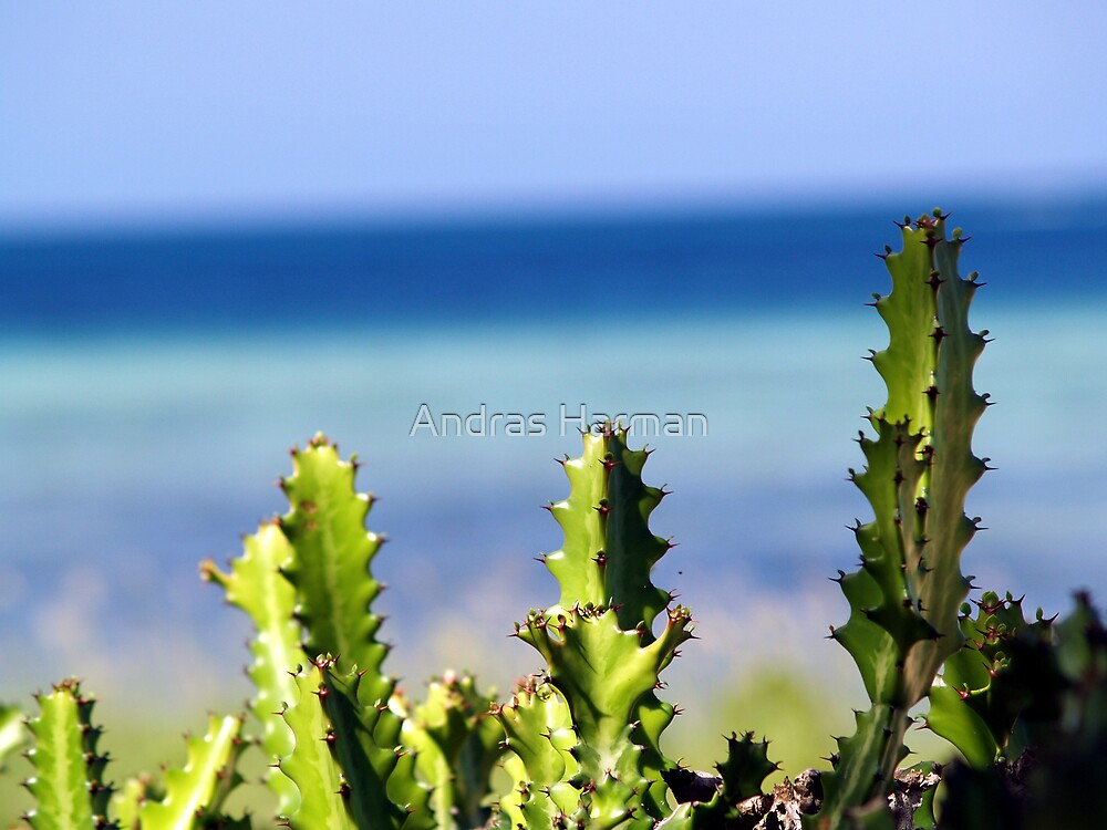 Cactus in Cuba by Andras Harman