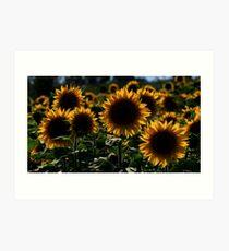 sunflower backlit Art Print