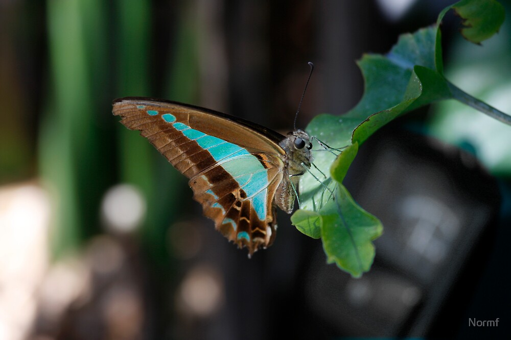 Blue Triangle - Graphium sarpedon   by Normf