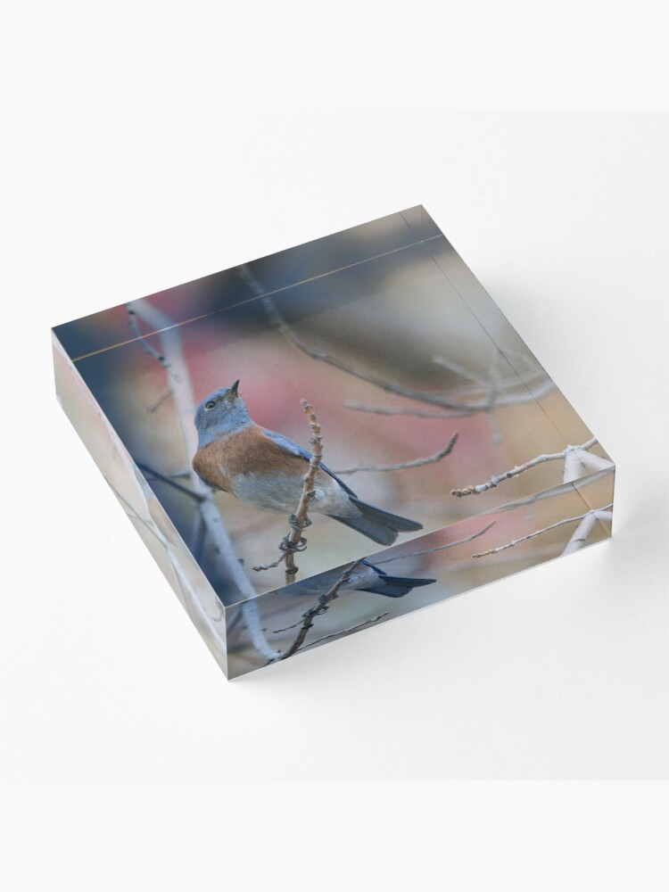 Alternate view of Western Bluebird 2 Acrylic Block