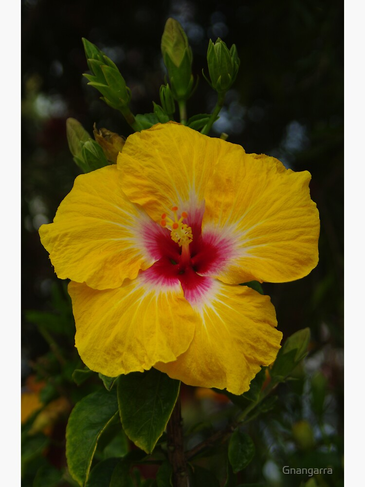 Hibiscus - yellow with red by Gnangarra