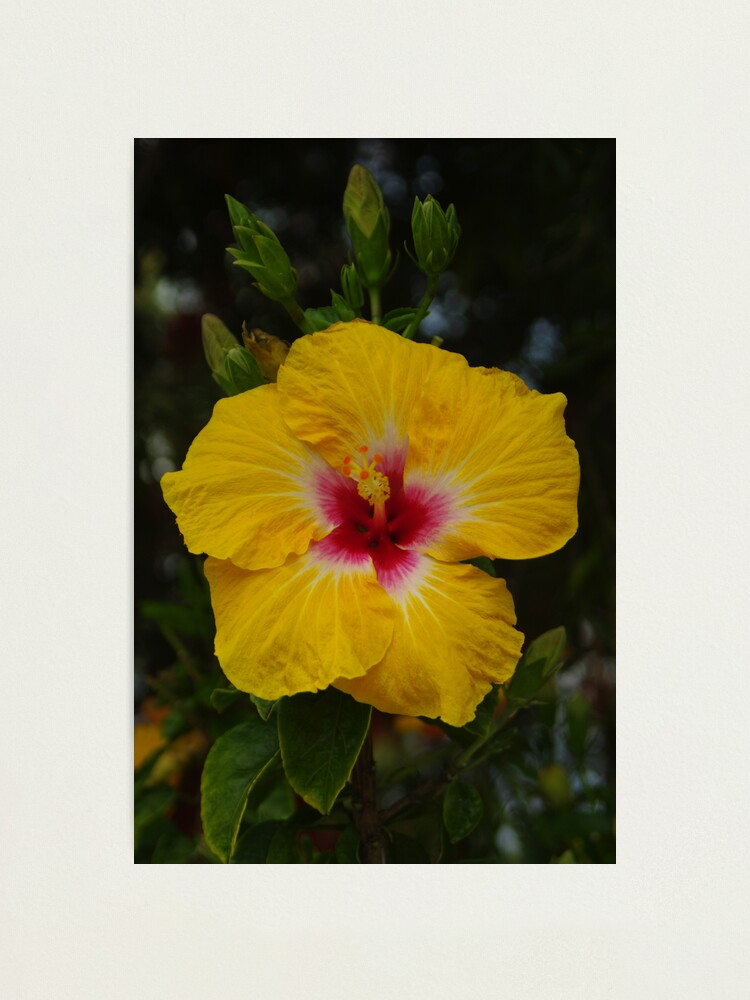 Alternate view of Hibiscus - yellow with red Photographic Print