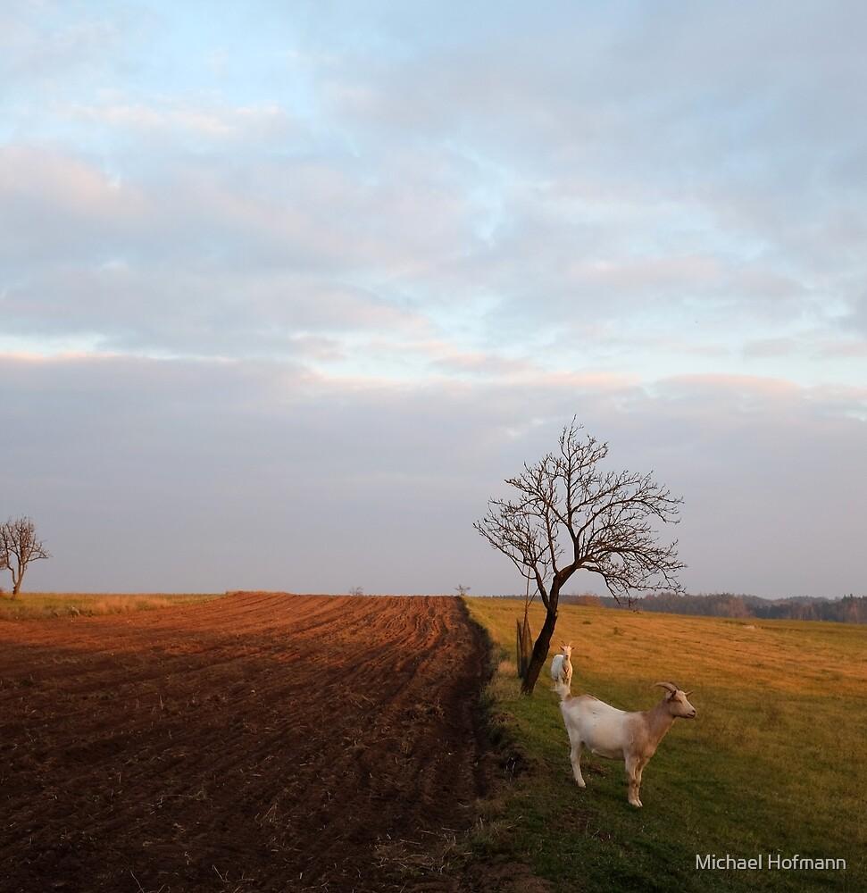 afternoon goats von Michael Hofmann