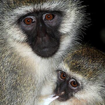 Primate - Black-faced Vervet Monkey, Kenya.  by Carole-Anne