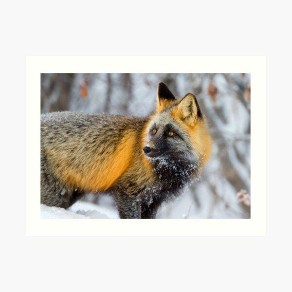 Cross Fox in the Arctic Art Print