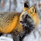 Cross Fox in the Arctic by Martin Smart