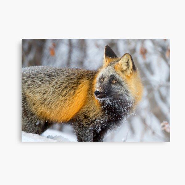 Cross Fox in the Arctic Metal Print