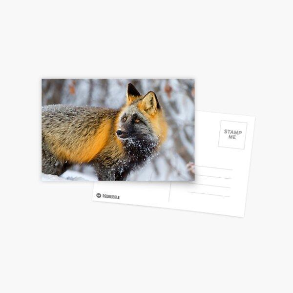 Cross Fox in the Arctic Postcard