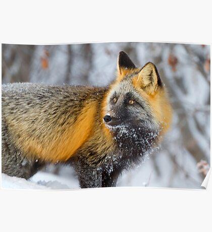 Cross Fox in the Arctic Poster