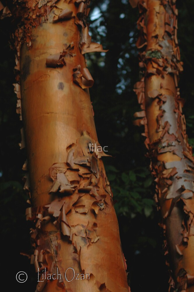 Tree by lilac
