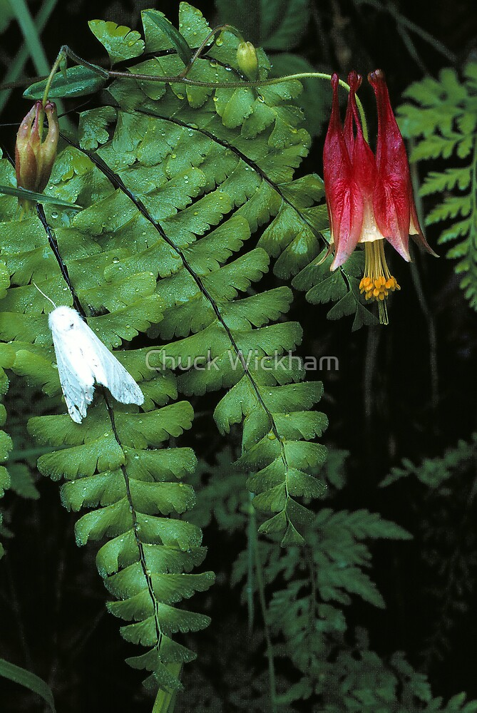 COLUMBINE AND MOTH,GREAT SMOKY MOUNTAINS by Chuck Wickham