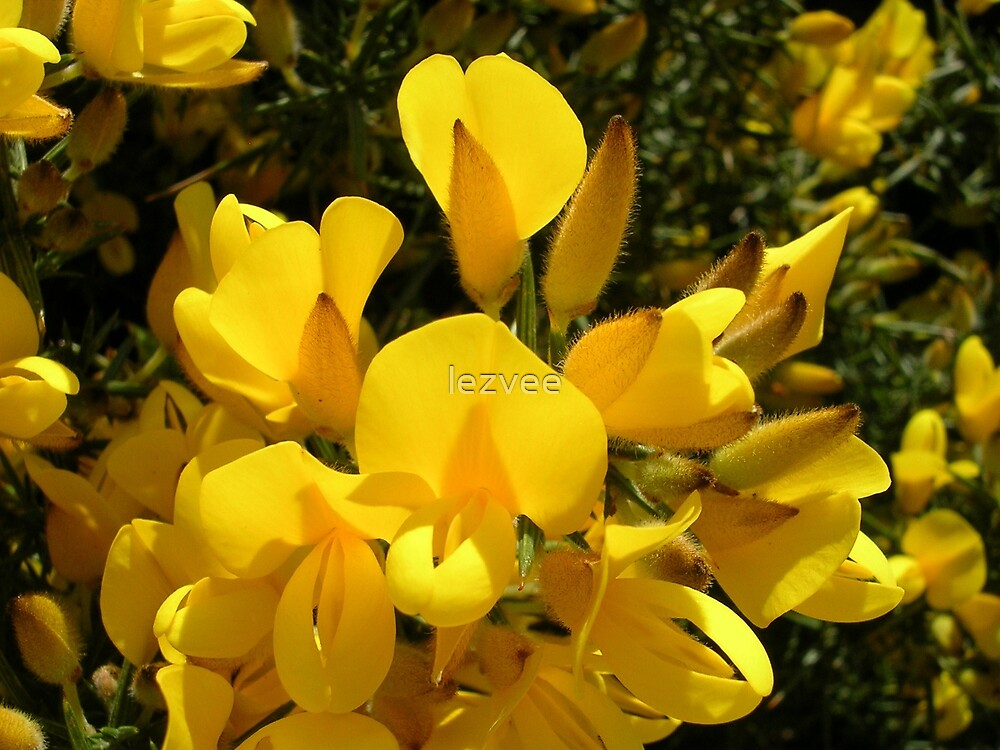 Ulex europaeus  (Common Gorse) by lezvee