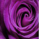 Purple Wedding Rose by Catherine Hamilton-Veal  ©