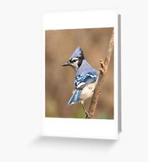 Blue Jay (native to Canada) Greeting Card