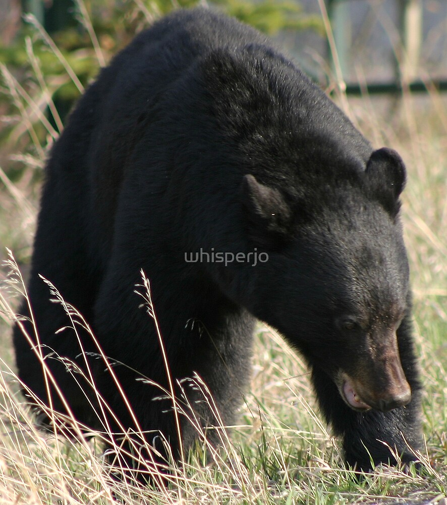 Angry black Bear by whisperjo