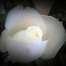 White Rosebud - Spring 2017 - Garden by EdsMum