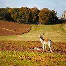 Bradgate Deer by Andy Freer