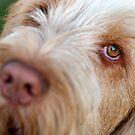 Orange and White Italian Spinone Dog Head Shot by heidiannemorris