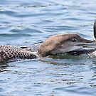Common Loon Mom and Bebe by DigitallyStill